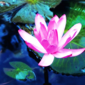 Flowers-Lotus